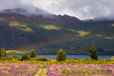 Rainbow across a field of colorful Lupine, near Wanaka