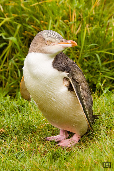 Blue Penguin at the Taiaroa Head Penguin Colony
