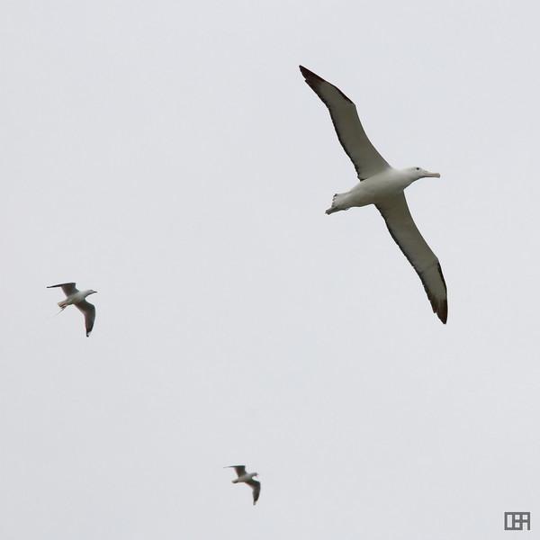 Albatross at the Albatross sanctuary, Taiaroa Head