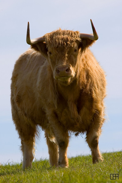 Shetland Cow along the Katiki Point road