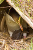 Yellow Eyed Penguin and chick in the conservation reserve on Taiaroa Head, the Otago Peninsula