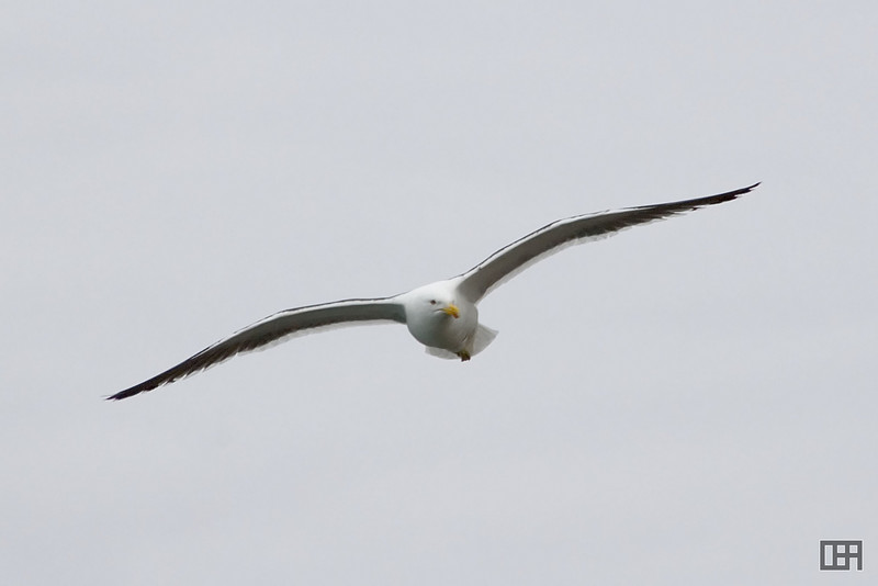Seagull at the Albatross sanctuary, Taiaroa Head