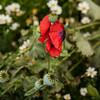 Poppies 2112