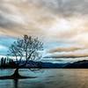 Wanaka Lake Willow