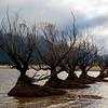 Planted willows in Lake Wakatipu, Glenorchy, New Zealand