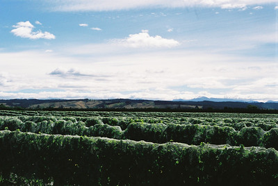 Vineyard in Nelson