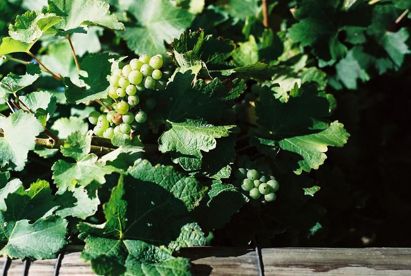 Vineyard in Nelson