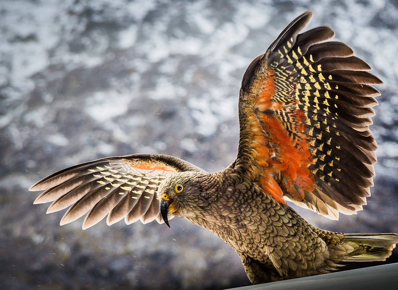 Kea Parrot at the Chasm