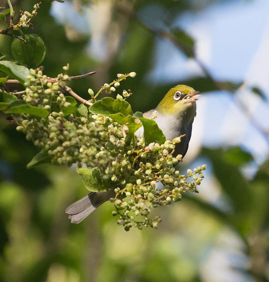European Greenfinch