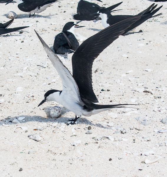 Royal Tern and Egg