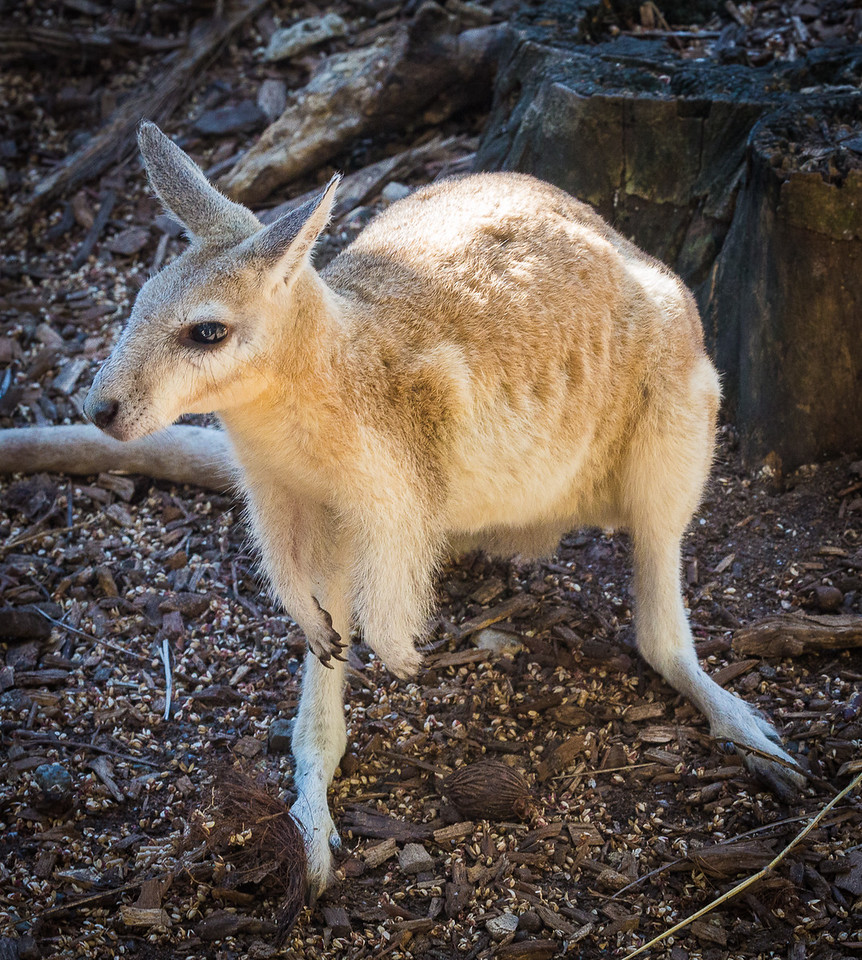 Kangeroo