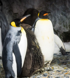 King Penguin Family