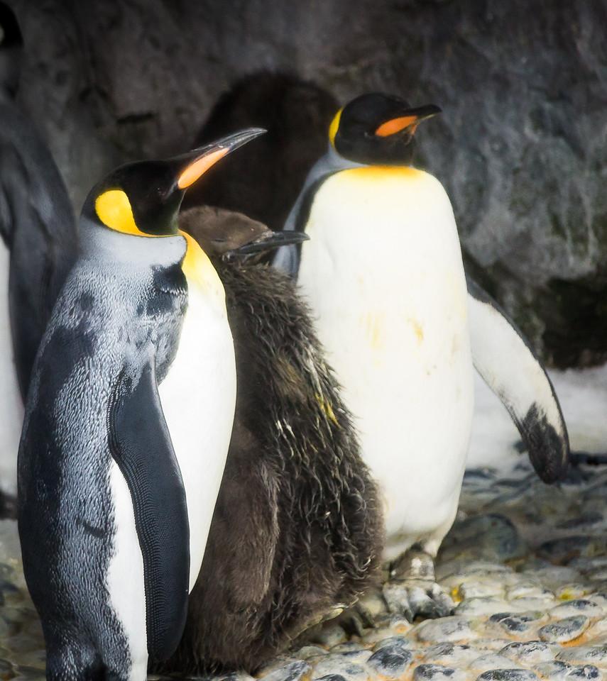 King Penguin Family