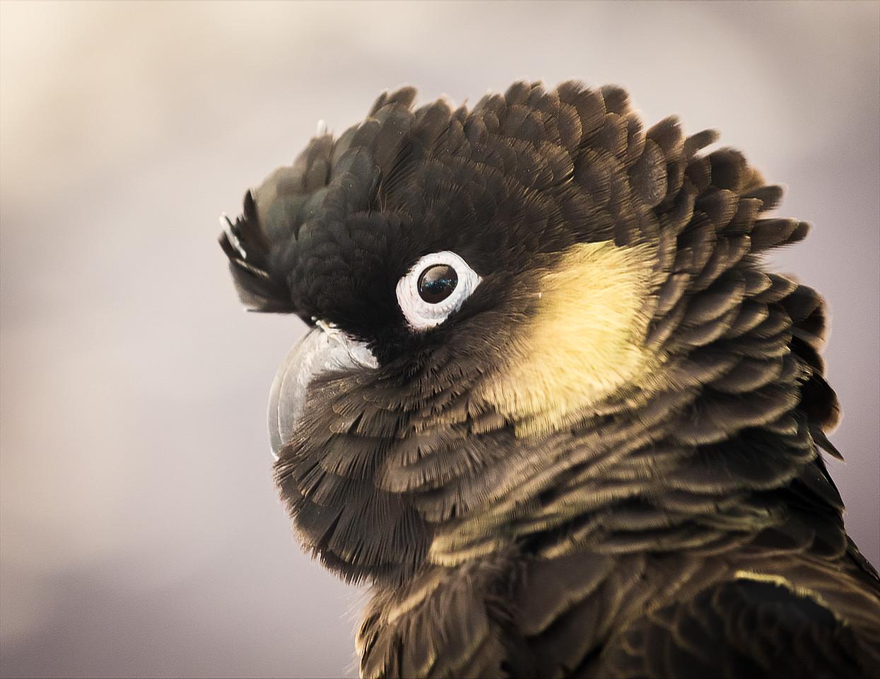Yellow Tailed Black Cockatoo