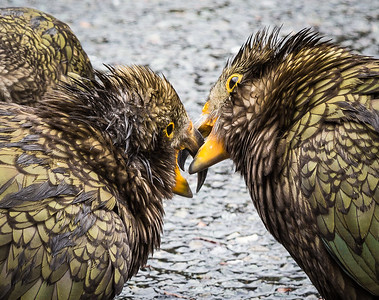 Kea Parrots playing