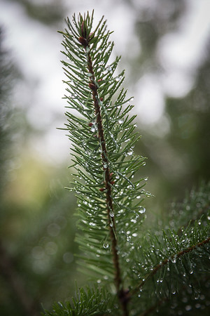 Pine Frond after a shower