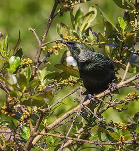 Tui (Parson Bird)