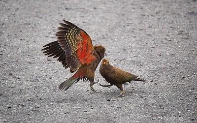 Kea squabble