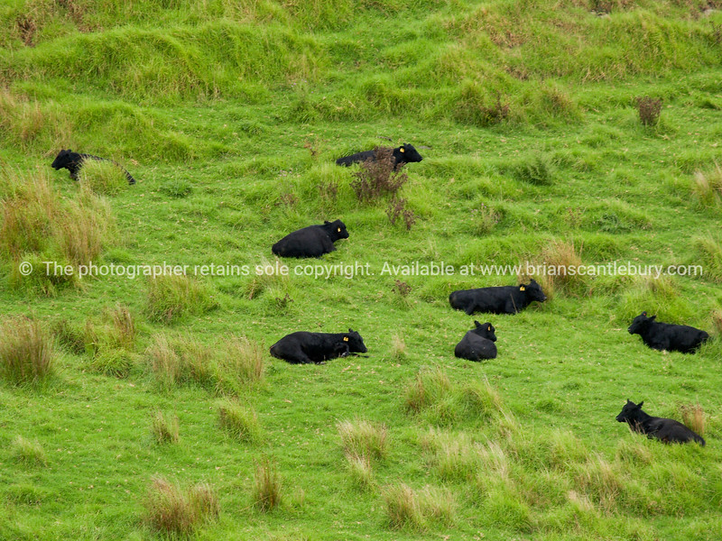 Black cattle, green field.