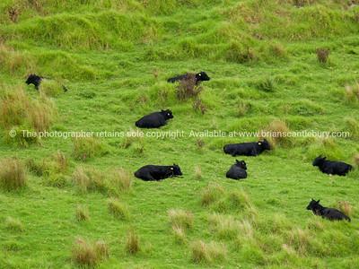 Black cattle, green field.