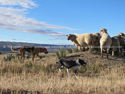 Sheep dogs round up a flock of rams