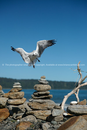 Seagull inspects stone stacks.