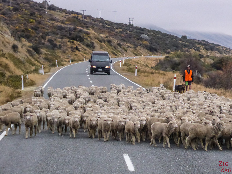 Dangers on the New Zealand Roads - sheep
