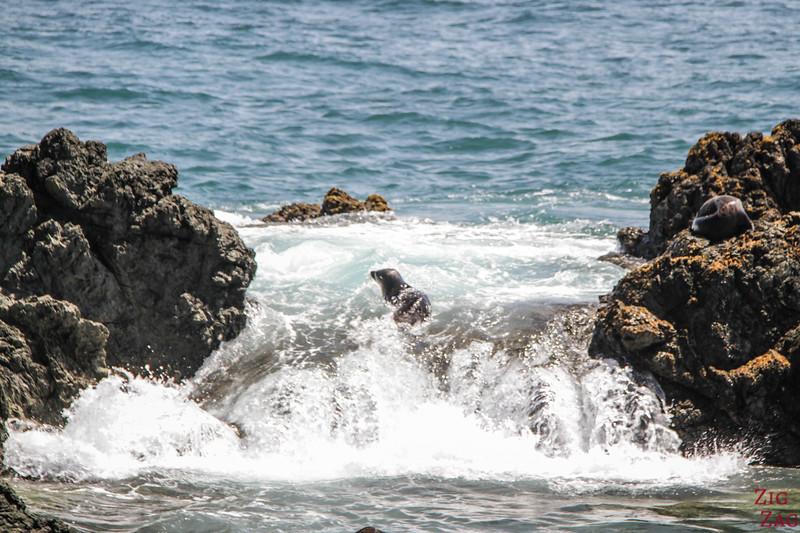 Colonie d'otaries au Cap Palliser - Matakitaki-a-kupe Reserve 2