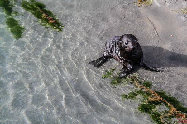 New Zealand North vs South island - seal pup