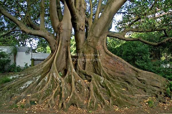 Large Tree with wide roots in Albert Park, Auckland, New Zealand