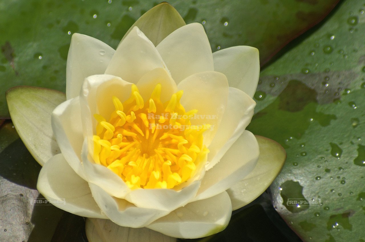 White and Yellow Lotus Flower