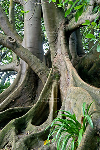 Roots of a huge tree in Albert Park, Auckland, New Zealand