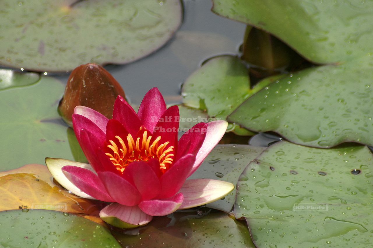 Blooming red water lilies in a pond
