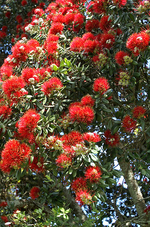 New Zealand Christmas Tree, Pōhutukawa (Metrosideros excelsa)