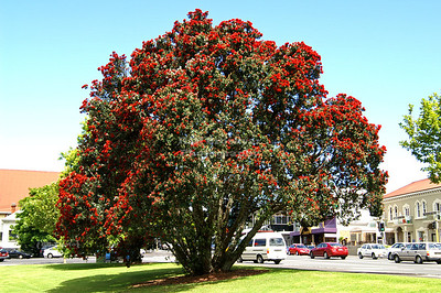 Flowering New Zealand Christmas Tree, Pōhutukawa (Metrosideros excelsa)