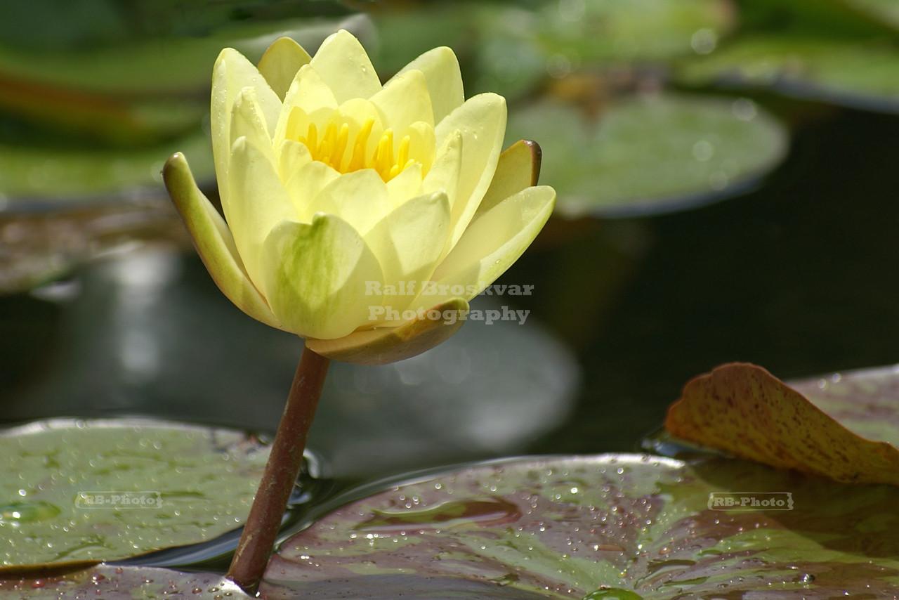 Yellow Lotus Flower Bathing in Sunlight