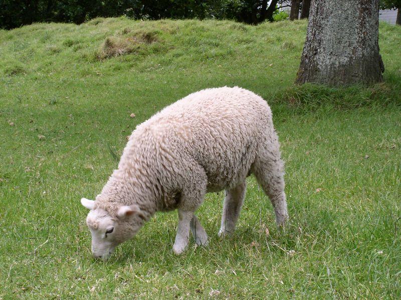 A sheep!