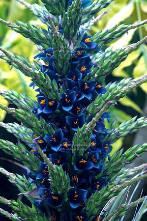 Sapphire Tower (Puya alpestris), a bromeliad native to Chile, in Christchurch Botanic Garden, New Zealand