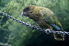 Kea (Nestor notabilis) is an alpine parrot found on the south island of New Zealand