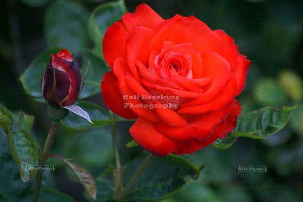 Red Rose, Rose Garden at Christchurch Botanic Gardens, Christchurch, New Zealand
