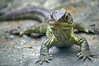 "Endangered species in New Zealand; Tuataras are equally related to lizards and snakes; the name ""Tuatara"" derives from the Maori language, and means ""peaks on the back""<br /> Willowbanks Wildlife Preserve, Chistchurch, New Zealand"