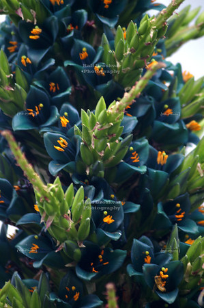 Sapphire Tower (Puya alpestris), a bromeliad native to Chile, in Christchurch Botanic Garden, New Zealand