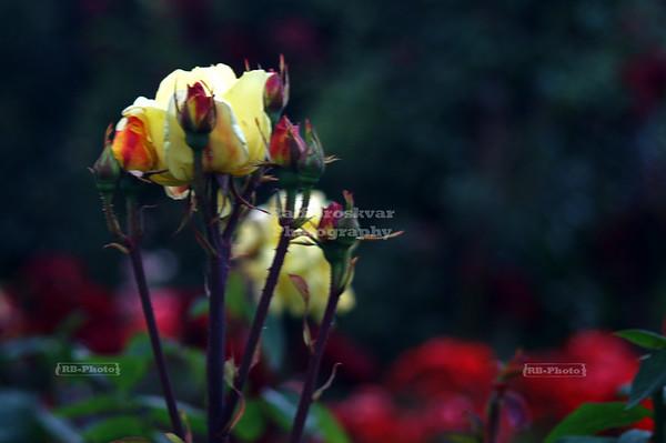 Rose Garden at Christchurch Botanic Gardens, Christchurch, New Zealand
