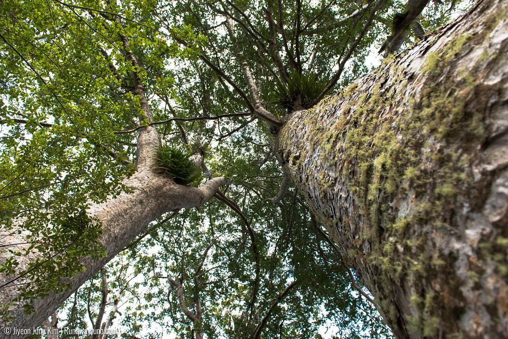 Kauri tree