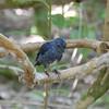 South Island Robin, Petroica australis, Tiritiri Matangi Island, NZ 543