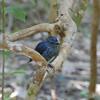 South Island Robin, Petroica australis, Tiritiri Matangi Island, NZ 542