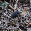 South Island Robin, Petroica australis, Tiritiri Matangi Island, NZ 167