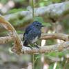 South Island Robin, Petroica australis, Tiritiri Matangi Island, NZ 544