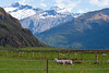I wonder if the sheep appreciate the view...<br /> Matukituki Valley