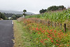 Further along Ahu Ahu Road.  Lots of corn grown.  The orange flowers growing along the roadside are ubiquitous at this time of year (the equivalent of our July), as are agapanthus and hyrangea.